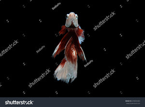 Beautiful movement of Siamese Fighting Fish (Halfmoon Betta) on a black background.