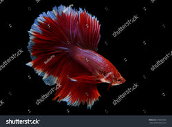 Beautiful red Siamese Fighting Fish (Halfmoon Betta) on a black background.