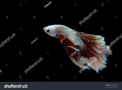 Beautiful Siamese Fighting Fish (Halfmoon Betta) on a black background.