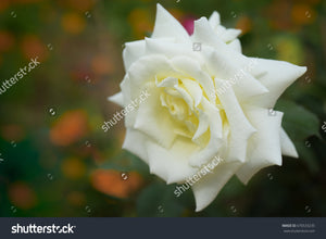 Beautiful white rose in full bloom in the flower garden with a blurry colorful flowers background.