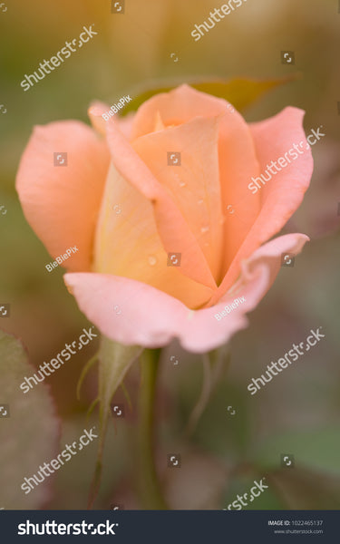 Blur and soft-focus of a pink rose with dewdrops on the petals.
