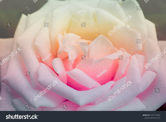 Blur and soft-focus of a white rose with soft gradient pastel color.