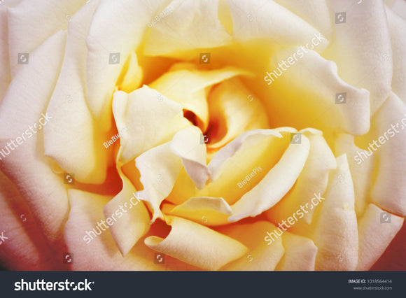 Blur and soft-focus of the rose with soft gradient pastel color.