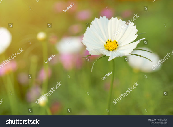 Blur and soft-focus of white cosmoses with the evening light and faded nature background.