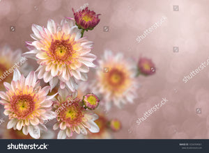 Brilliant pink and yellow Chrysanthemums in a faded pink bokeh background.