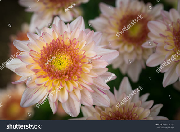 Brilliant pink and yellow Chrysanthemums and orange center.