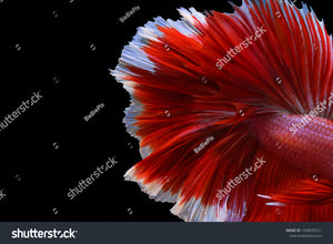Close up of Betta Fish tail on a black background.