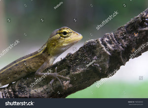 Cute Baby Lizard (Chameleon) on a twig in the forest with faded nature background.