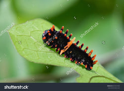 Pachliopta Aristolochiae, Common Rose caterpillar (Red-bodied swallowtail Butterfly).