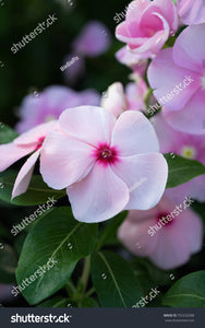 Pink Catharanthus roseus, commonly known as the Madagascar periwinkle, rosy periwinkle or teresita.