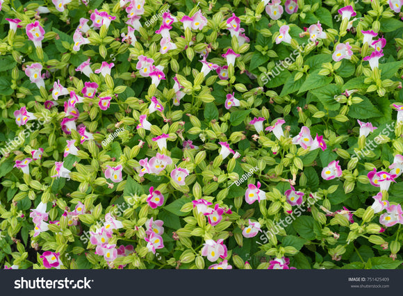 Pink Torenia Fournieri 'Kauai Roses' aka Wishbone Flower, Bluewings and Clown Flower.