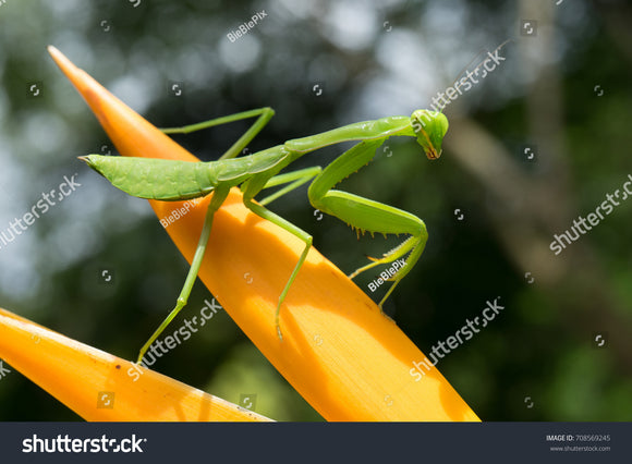 Praying Mantis on orange flower with green leafy bokeh background.
