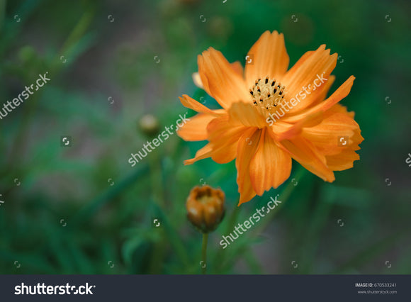 Pretty orange cosmos in the flower garden with a green blurry background.