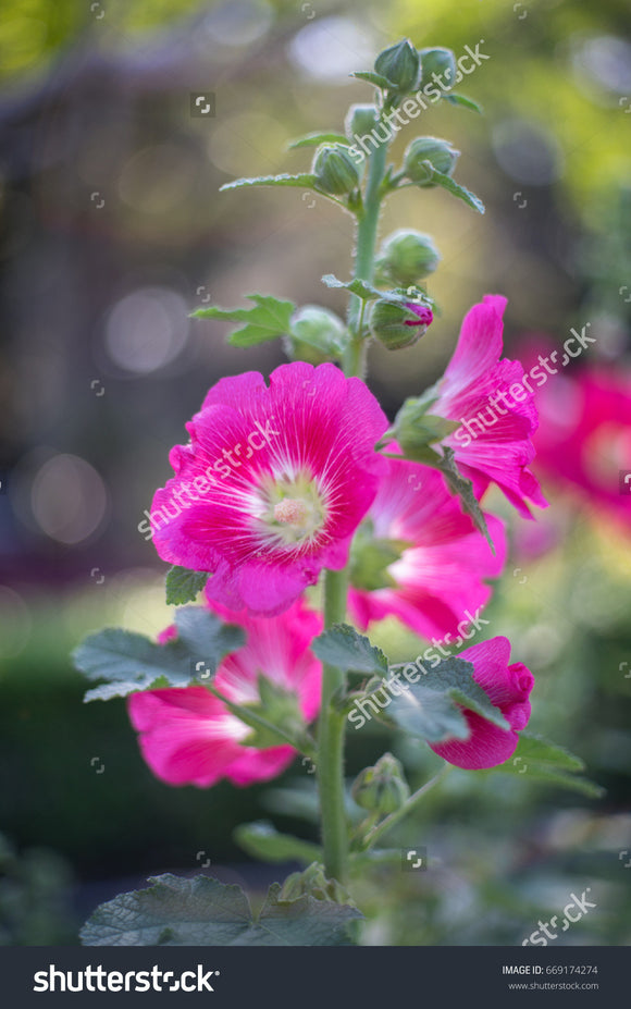 Pretty pink Alcea Rosea flowers in full bloom, commonly known as hollyhocks.