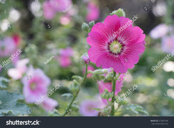 Pretty pink Alcea Rosea flowers in full bloom in the garden with a bokeh background.