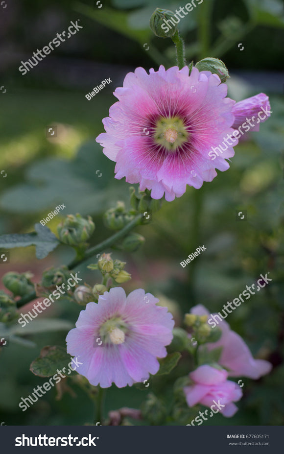 Pretty pink Alcea Rosea flowers in the garden with a green nature background.