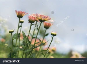 Pretty pink Chrysanthemums in the flower garden with a bright background.