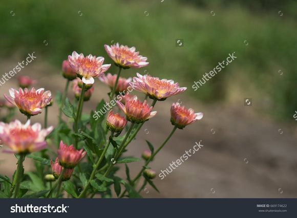 Pretty pink Chrysanthemums in the flower garden with a green blurry background.