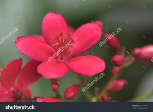 Pretty red Jatropha Integerrima flowers, commonly known as Peregrina or Spicy Jatropha.
