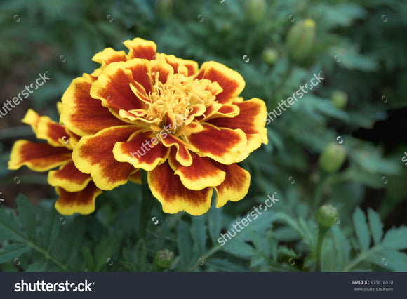 Pretty yellow-orange Tagetes or Marigold flower in full bloom in the flower garden.