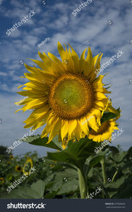 Pretty yellow sunflower facing the sun while the wind is blowing through their petals.
