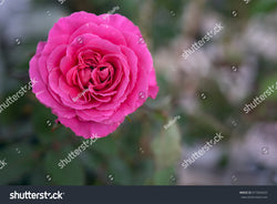 Selective Soft Focus of a beautiful shocking pink rose in full bloom.