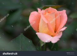 Soft focus of a beautiful pink rose with water drops on the petals.