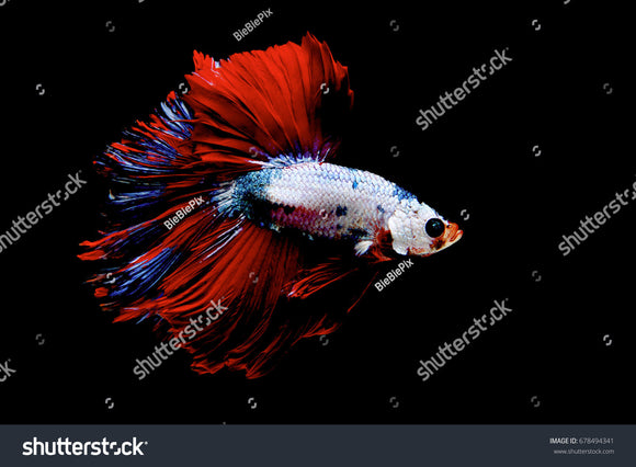 Beautiful and stunning fancy color of Siamese Fighting Fish (Halfmoon Betta) on a black background.