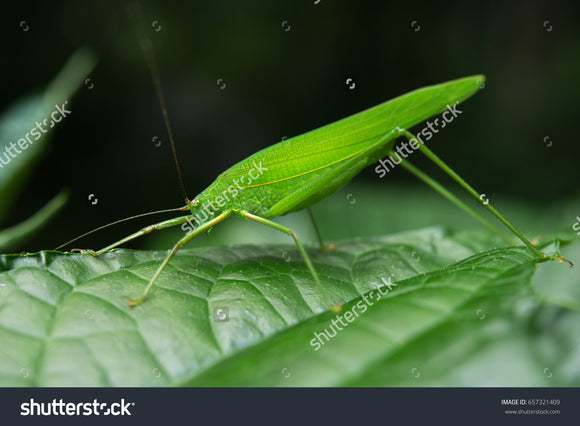 Tettigoniidae, Katydid or Bush Cricket or Long-horned Grasshopper.