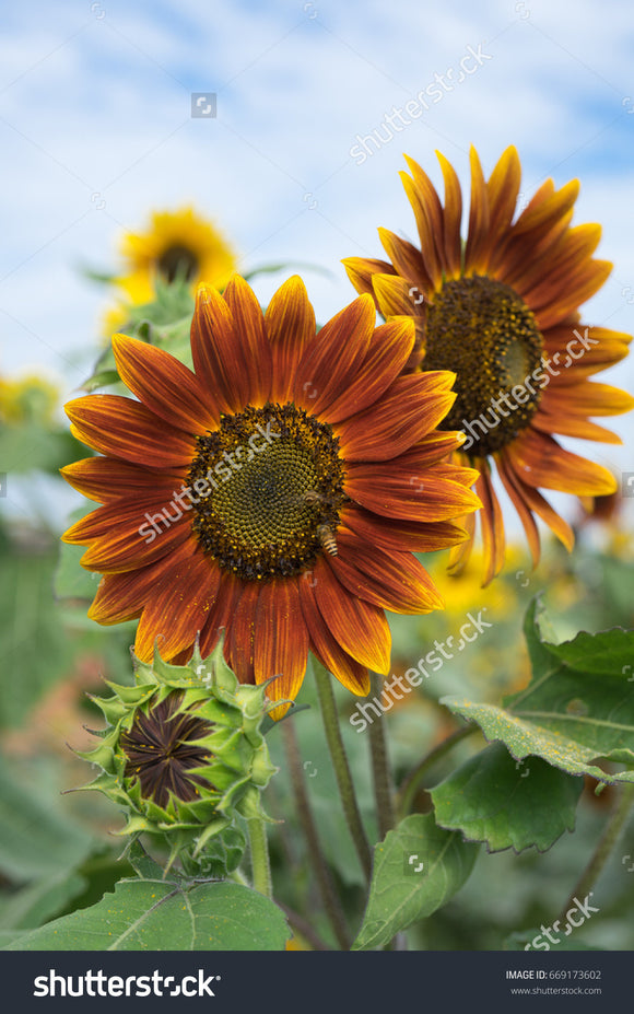 The stunning fiery orange and yellow of a summer sunflower.