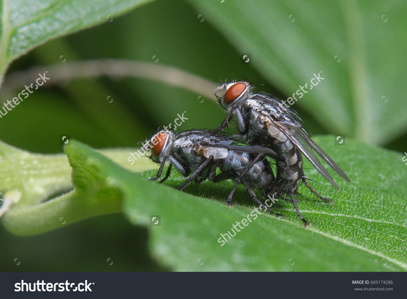 The houseflies (Musca domestica) mating on a green leaf.