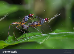 The Micropezidae, Stilt Legged Flies mating on a green leaf.