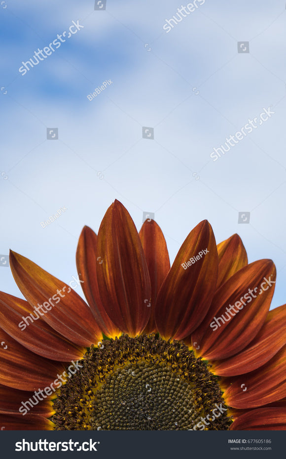 The top half of the pretty fiery orange sunflower in the field with a bright blue sky background.