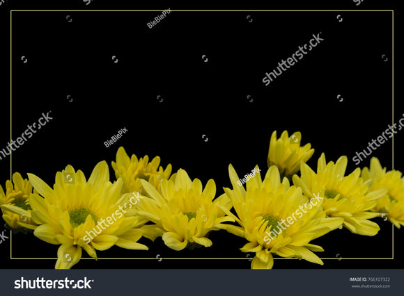 Unique black background bordered by yellow frame and brilliant yellow Chrysanthemums.