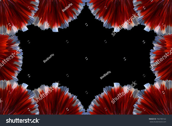 Unique black framed background bordered by the multicolor of Betta fish tails.