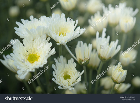 White Chrysanthemums and yellow center with a faded nature background.