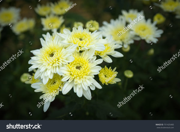 White Chrysanthemums and yellow center, aka mums or chrysanths.