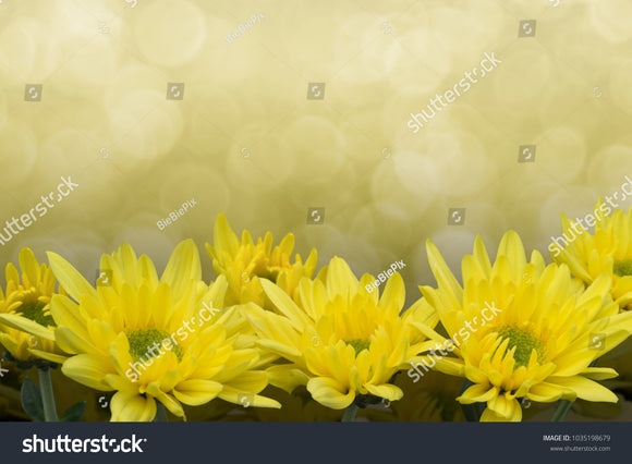 Yellow Chrysanthemums with a faded golden bokeh background.