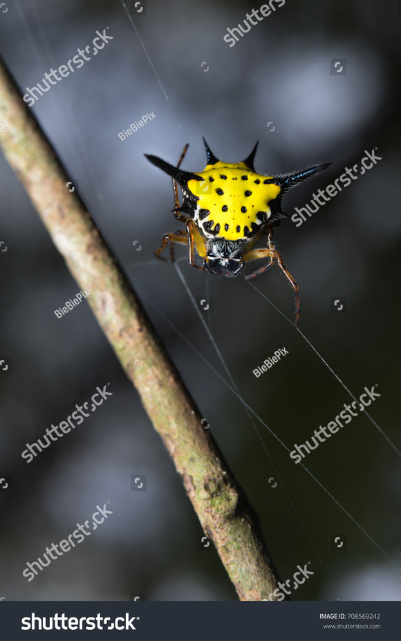 Yellow Spinybacked Orb Weaver Spider dancing on his web with faded background.