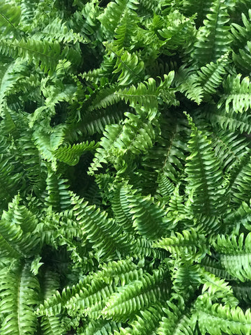 Boston Fern indoor plant