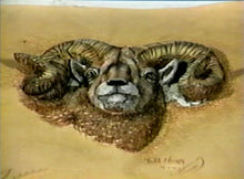 The Big Horn Sheep by Robb Barr