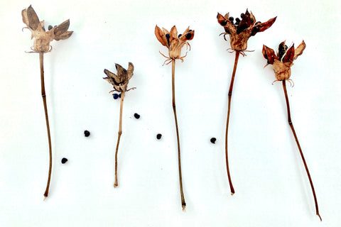 Dried flower stems and seeds