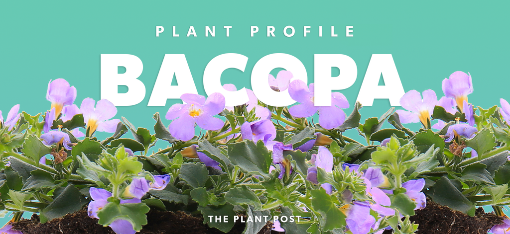 The Plant Post - Bacopa