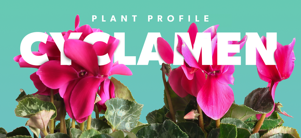 Plant Profile - Cyclamen