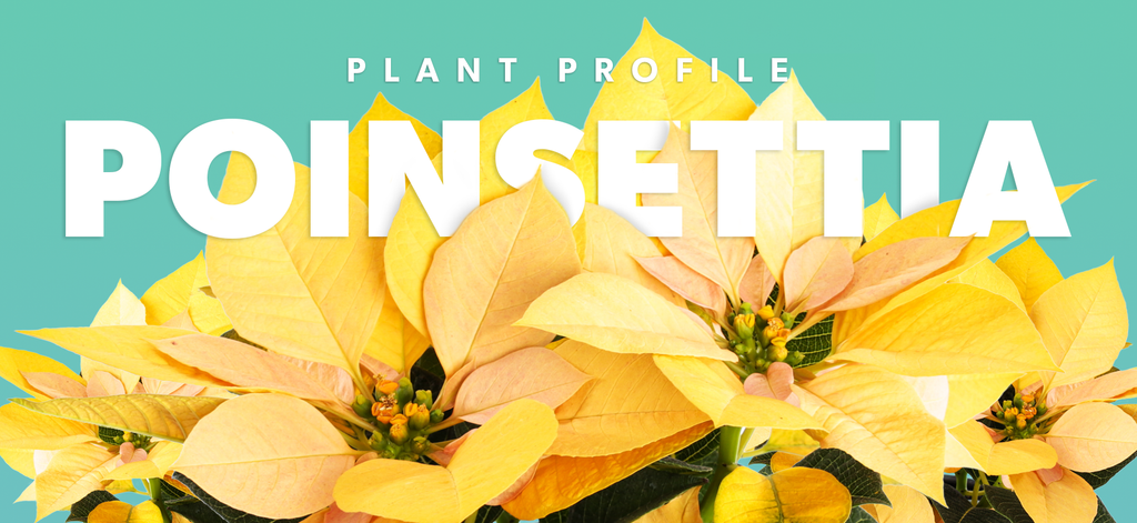 Plant Profile - Poinsettia