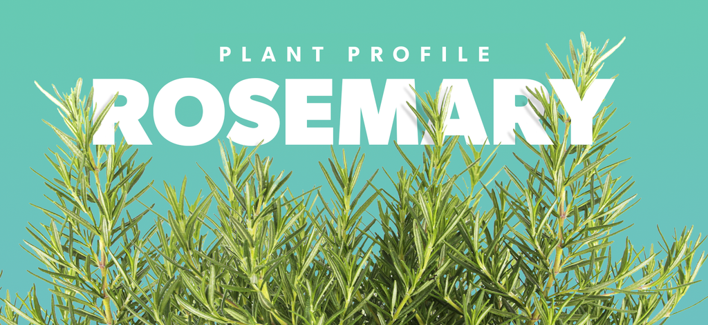 Plant Profile - Rosemary