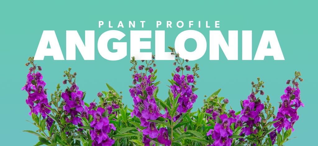 Plant Profile - Angelonia