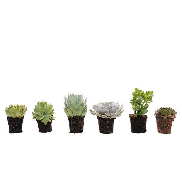 Succulent Mix (Pack of 6)