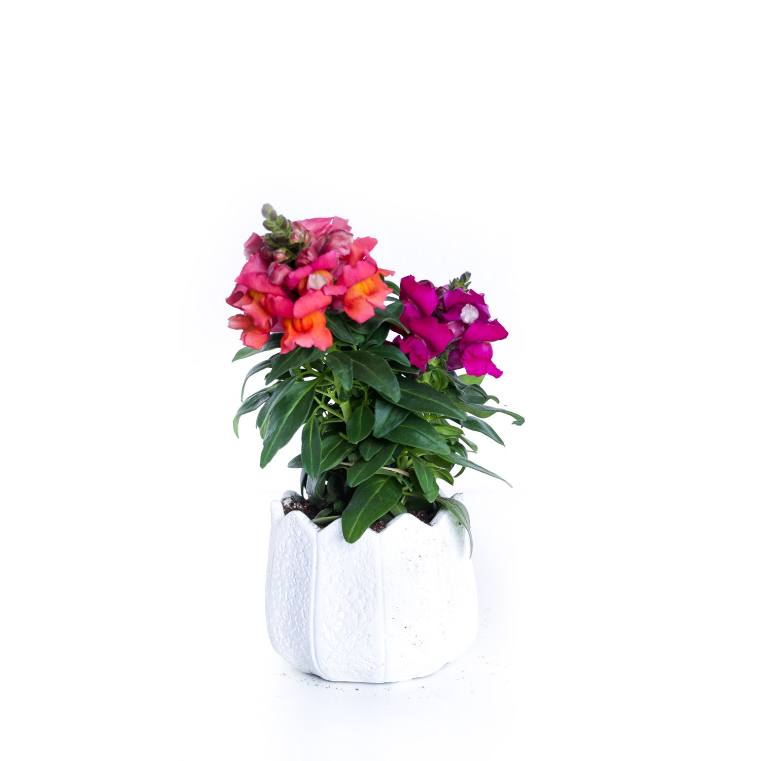 Potted Snapdragons