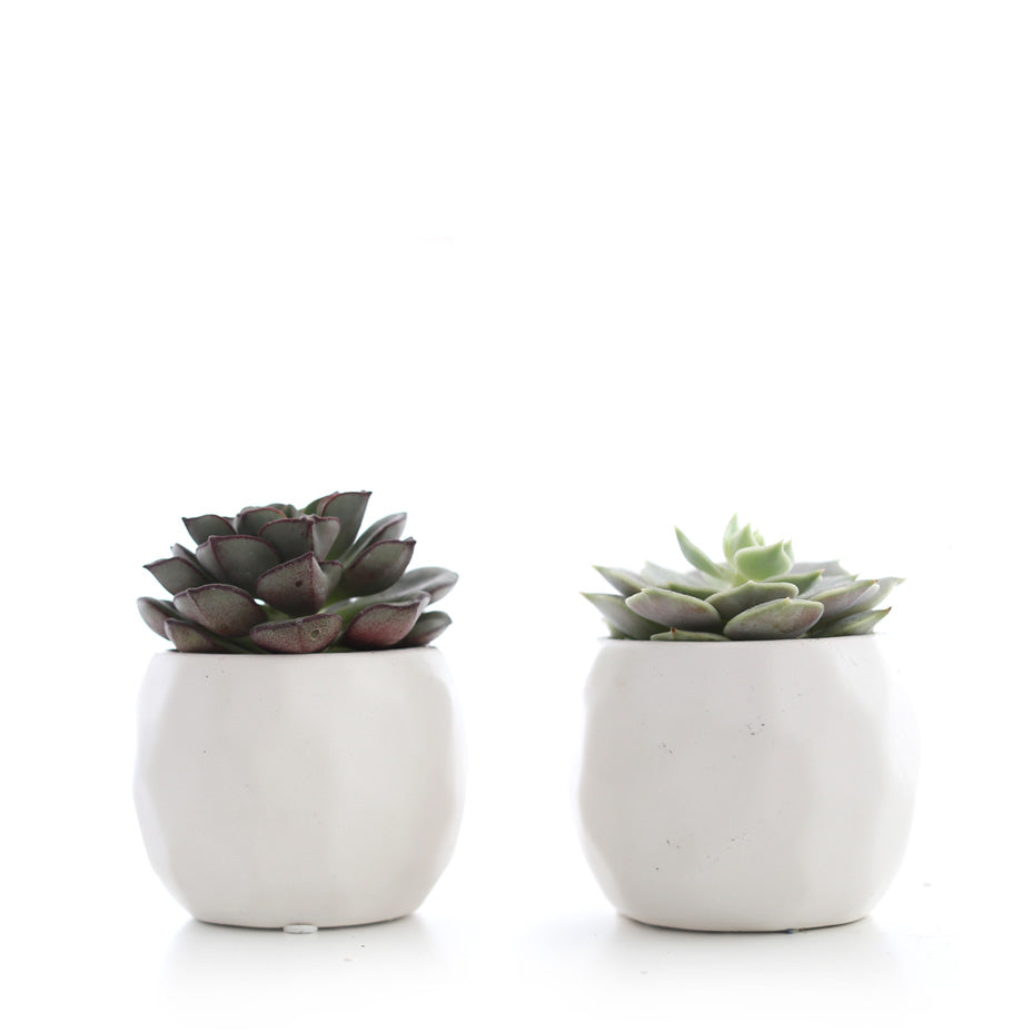 Mini Succulent in Geometric Pot (Pack of 2)